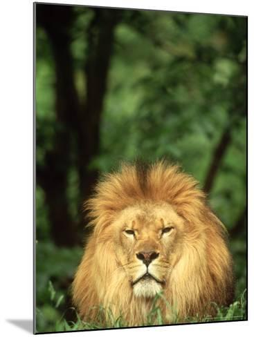 Lion, Panthera Leo Adult Male-Adam Jones-Mounted Photographic Print