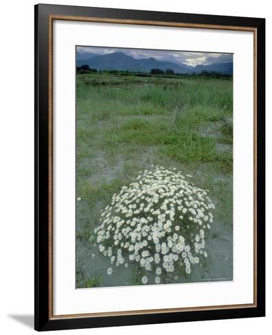 Camomille, Flowering, La Corse, France-Olaf Broders-Framed Art Print