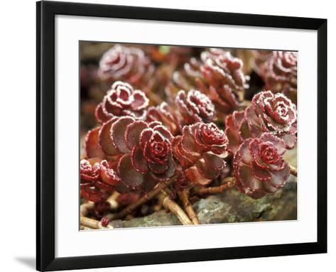 "Sedum Spurium ""Dragons Blood"" (Stonecrop), October-Lynn Keddie-Framed Art Print"