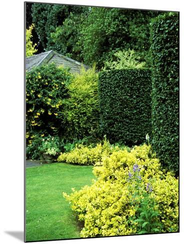 Beech Hedging with Bright Yellow Variegated Euonymus at Base-Lynn Keddie-Mounted Photographic Print