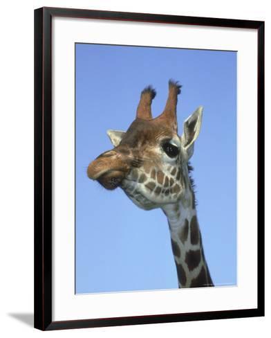 Giraffe, Close-up Portrait-Mark Hamblin-Framed Art Print