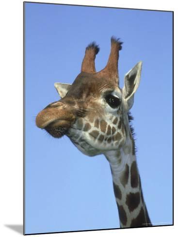 Giraffe, Close-up Portrait-Mark Hamblin-Mounted Photographic Print