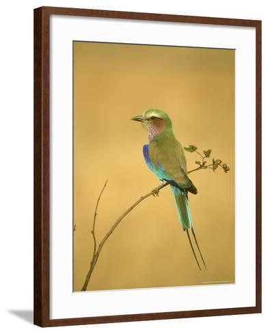 Lilac-Breasted Roller, Coracias Caudata Adult Perched, Botswana, Southern Africa-Mark Hamblin-Framed Art Print