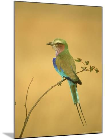 Lilac-Breasted Roller, Coracias Caudata Adult Perched, Botswana, Southern Africa-Mark Hamblin-Mounted Photographic Print