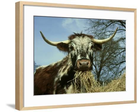 Longhorn Cattle, UK-Mark Hamblin-Framed Art Print