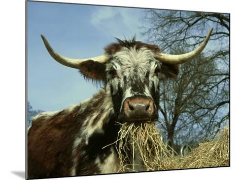 Longhorn Cattle, UK-Mark Hamblin-Mounted Photographic Print