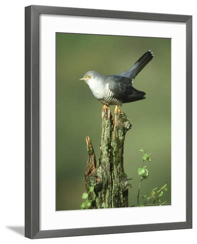 Cuckoo, Cuculus Canorus Male Perched on Post Derbyshire, UK-Mark Hamblin-Framed Art Print