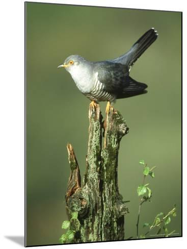 Cuckoo, Cuculus Canorus Male Perched on Post Derbyshire, UK-Mark Hamblin-Mounted Photographic Print