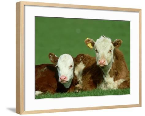 Hereford, Bos Taurus, Close-up of 2 Calves Lying in Meadow, Yorkshire, UK-Mark Hamblin-Framed Art Print