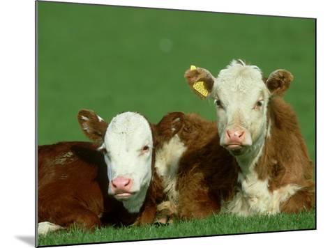 Hereford, Bos Taurus, Close-up of 2 Calves Lying in Meadow, Yorkshire, UK-Mark Hamblin-Mounted Photographic Print