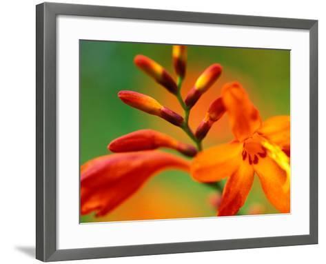 "Crocosmia ""Venus,"" Close-up of Orange/Red Flower Head-Lynn Keddie-Framed Art Print"