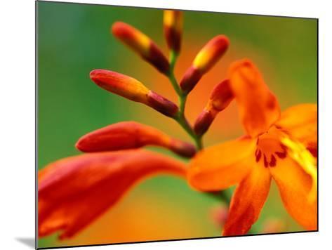 "Crocosmia ""Venus,"" Close-up of Orange/Red Flower Head-Lynn Keddie-Mounted Photographic Print"