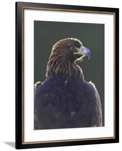 Golden Eagle, Portrait of Adult, Scotland-Mark Hamblin-Framed Art Print