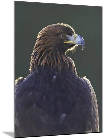 Golden Eagle, Portrait of Adult, Scotland-Mark Hamblin-Mounted Photographic Print