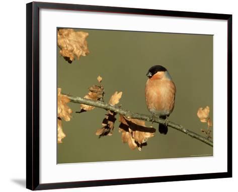 Bullfinch, Pyrrhula Pyrrhula Male Perched on Small Oak Branch, S. Yorks-Mark Hamblin-Framed Art Print