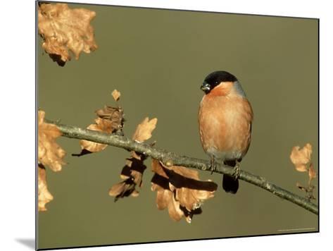 Bullfinch, Pyrrhula Pyrrhula Male Perched on Small Oak Branch, S. Yorks-Mark Hamblin-Mounted Photographic Print
