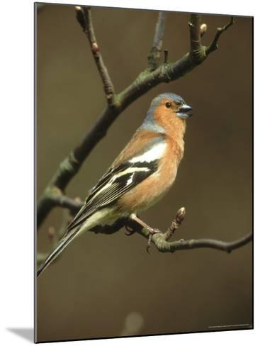 Chaffinch, Fringilla Coelebs Male Singing from Small Branch, S. Yorks-Mark Hamblin-Mounted Photographic Print