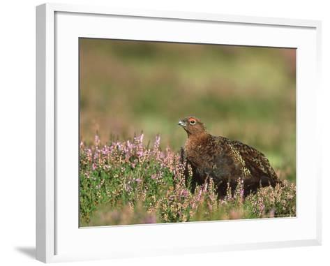 Red Grouse, Lagopus Lagopus Scoticus Male on Heather UK-Mark Hamblin-Framed Art Print