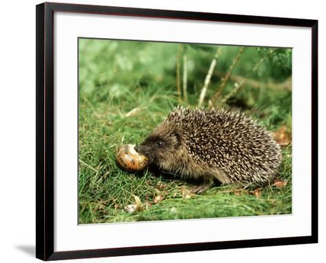 Hedgehog, Youngster Feeding on Snail, UK-Mark Hamblin-Framed Art Print