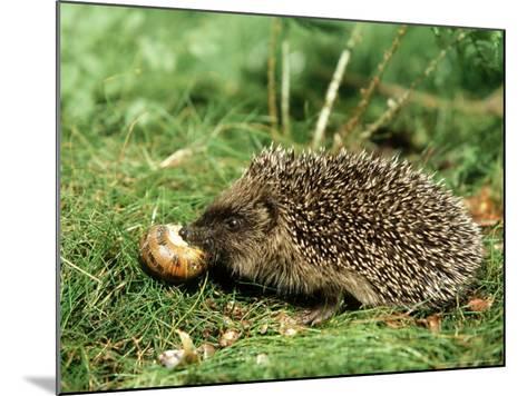 Hedgehog, Youngster Feeding on Snail, UK-Mark Hamblin-Mounted Photographic Print