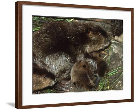 Canadian Beaver, Castor Canadensis Female with Young-Mark Hamblin-Framed Art Print