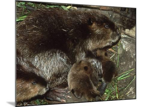 Canadian Beaver, Castor Canadensis Female with Young-Mark Hamblin-Mounted Photographic Print