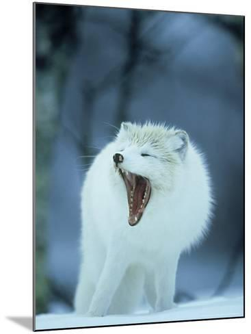 Arctic Fox, Alopex Lagopus Adult Yawning, In Winter Coat, Norway-Mark Hamblin-Mounted Photographic Print