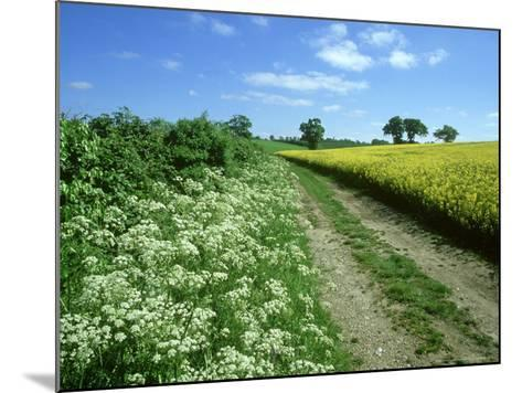 Farmland Habitat, Cow Parsley, England (May)-Mark Hamblin-Mounted Photographic Print