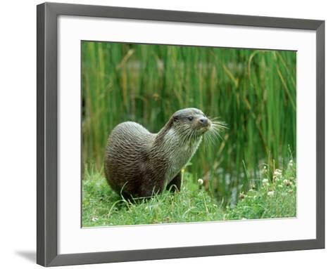 European Otter, Lutra Lutra Riverbank-Mark Hamblin-Framed Art Print