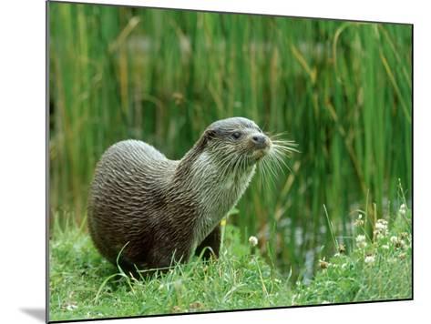 European Otter, Lutra Lutra Riverbank-Mark Hamblin-Mounted Photographic Print