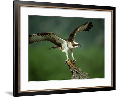 Osprey, Pandion Haliaetus Male on Branch with Fish Scotland, UK-Mark Hamblin-Framed Art Print