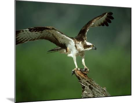Osprey, Pandion Haliaetus Male on Branch with Fish Scotland, UK-Mark Hamblin-Mounted Photographic Print