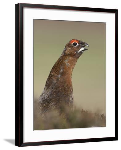 Red Grouse, Portrait of Male, Scotland-Mark Hamblin-Framed Art Print