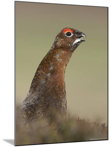 Red Grouse, Portrait of Male, Scotland-Mark Hamblin-Mounted Photographic Print