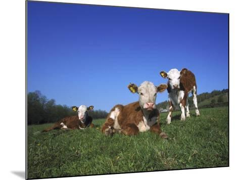 Hereford Cattle, Calves in Grass Meadow, UK-Mark Hamblin-Mounted Photographic Print