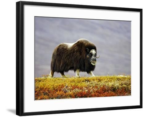 Musk Ox, Adult Female Walking Across Tundra in Autumn, Norway-Mark Hamblin-Framed Art Print