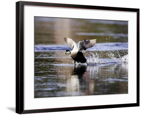 Eider, Adult Male Running Across Water Ready for Take Off, Norway-Mark Hamblin-Framed Art Print