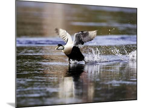 Eider, Adult Male Running Across Water Ready for Take Off, Norway-Mark Hamblin-Mounted Photographic Print