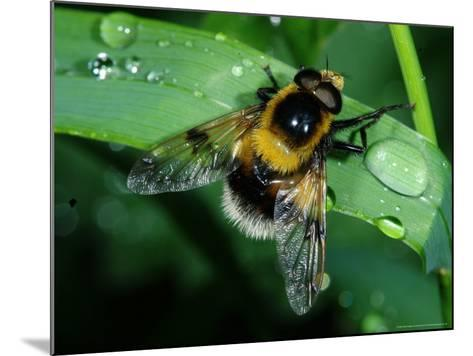 Hoverfly, Adult Resting on Wet Leaf, Cambridgeshire, UK-Keith Porter-Mounted Photographic Print