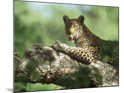Leopard, Resting in Tree During Heat of the Day, Botswana-Richard Packwood-Mounted Photographic Print