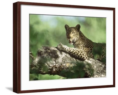 Leopard, Resting in Tree During Heat of the Day, Botswana-Richard Packwood-Framed Art Print