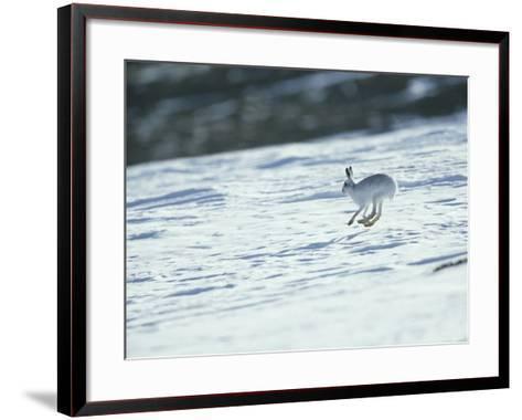 Mountain (Blue) Hare, Monadhliath Mts, Scotland-Richard Packwood-Framed Art Print