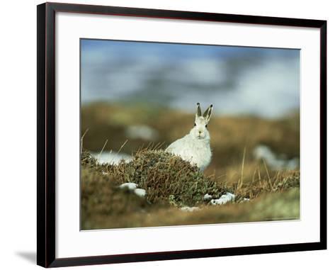 Mountain (Blue) Hare, Monadhliath Mtns, Scotland-Richard Packwood-Framed Art Print