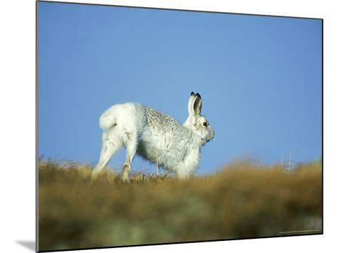 Mountain (Blue) Hare, Monadhliath Mtns, Scotland-Richard Packwood-Mounted Photographic Print