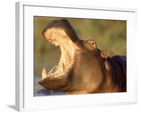 Hippopotamus, Gaping Agressively, Moremi Game Reserve, Botswana-Richard Packwood-Framed Art Print