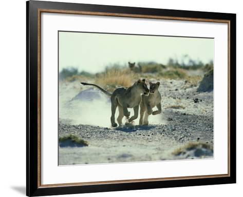 African Lion, Running, Namibia-Richard Packwood-Framed Art Print