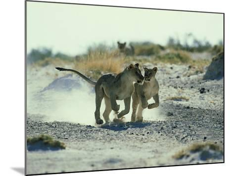 African Lion, Running, Namibia-Richard Packwood-Mounted Photographic Print