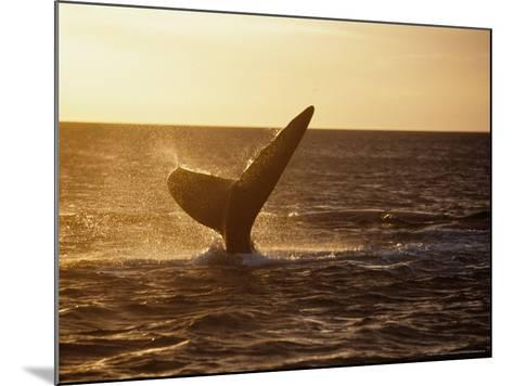 Southern Right Whale, Fluke at Sunset, Valdes Penin-Gerard Soury-Mounted Photographic Print