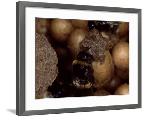 Bumble Bees, Inspecting Eggs in Nest, UK-O'toole Peter-Framed Art Print