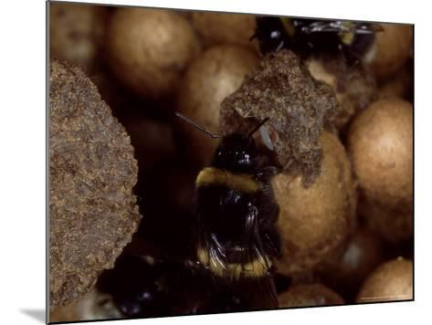 Bumble Bees, Inspecting Eggs in Nest, UK-O'toole Peter-Mounted Photographic Print